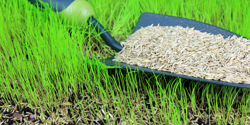 How to sow grass seed UK