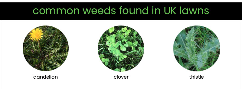 Best-Lawn-Feed-weed-UK-Common-Weeds